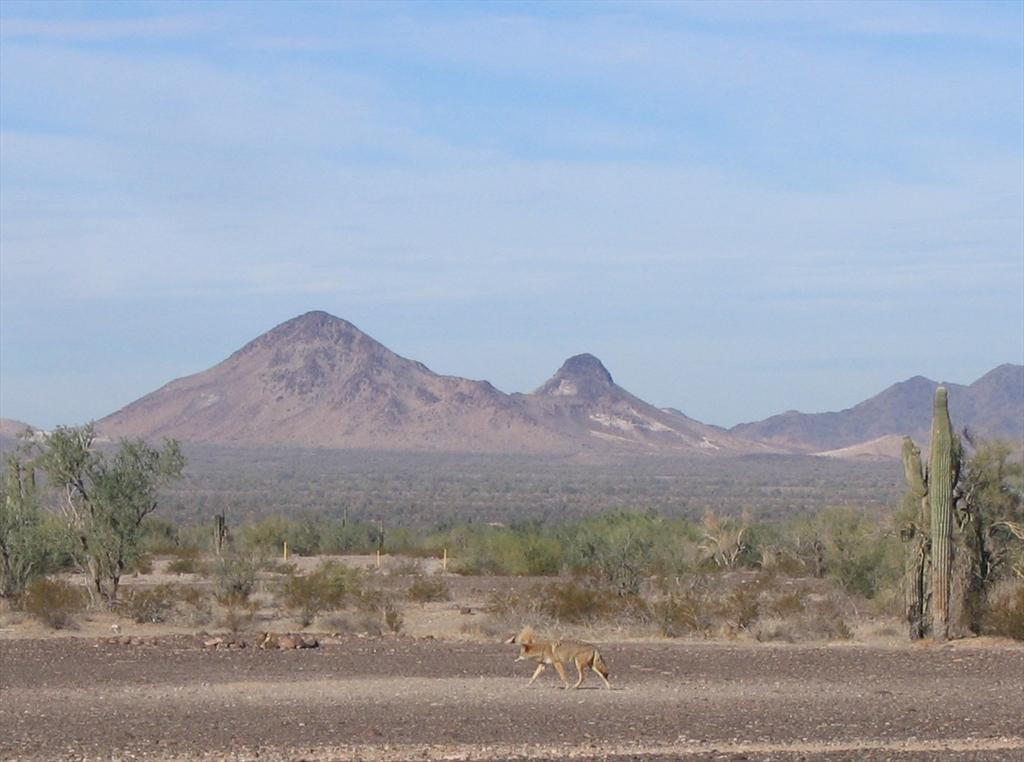 001-Coyote near Wellton, Ariz.jpg