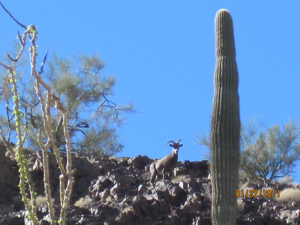 087-Big-horned sheep, Castle Dome Rd, Kofa NWR.jpg