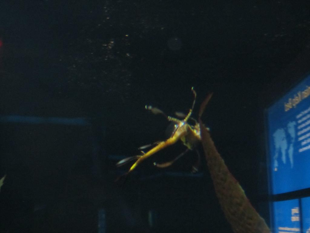 045-Weedy seadragon in River Journey, Tennessee Aquarium, Chattanooga.jpg