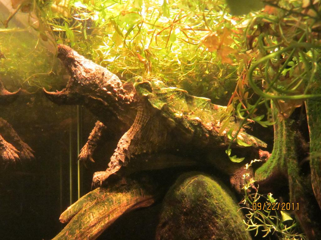 101-Alligator snapping turtle in River Journey, Tennessee Aquarium, Chattanooga.jpg